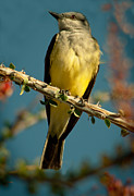 Flycatcher Prints - Western Kingbird Print by Robert Bales