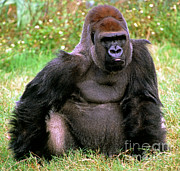 Ape. Great Ape Prints - Western Lowland Gorilla Print by Millard H. Sharp
