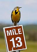 Mile Marker Posters - Western Meadowlark on the Mile 13 Sign Poster by Karon Melillo DeVega