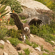 Feeds Prints - Western Rueppells Vulture Print by Daniel Hebard