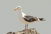 Bob and Jan Shriner - Western Seagull