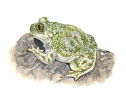 Illustration Painting Originals - Western spadefoot by Cindy Hitchcock
