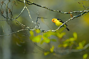 Forest Birds Posters - Western Tanager Poster by Doug Keech