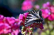 Tiger Swallowtail Posters - Western Tiger Swallowtail Butterfly on Geranium Poster by Sharon  Talson