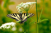Black Wings Prints - Western Tiger Swallowtail Butterfly Print by Sharon  Talson