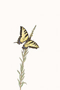 Elizabeth Romanini Drawings - Western Tiger Swallowtail by Elizabeth Romanini