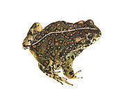 Illustration Painting Originals - Western toad by Cindy Hitchcock