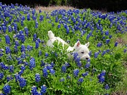 Carrie OBrien Sibley - Westie in a field of Blue