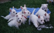 Dogs Mixed Media - Westie Puppies - West Highland White Terriers by Photography Moments - Sandi
