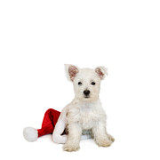 Westie Puppies Posters - Westie Puppy and Santa Hat Poster by Natalie Kinnear