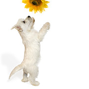 Canines Art Acrylic Prints - Westie Puppy and Sunflower Acrylic Print by Natalie Kinnear