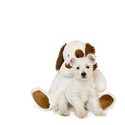 West Highland Terriers Posters - Westie Puppy and Teddy Bear Poster by Natalie Kinnear