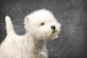White Dog Metal Prints - Westie Metal Print by Rebecca Cozart