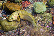 Cutthroat Trout Photo Prints - Westslope Cutthroat Trout Print by Merle Ann Loman