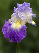 Bearded Iris Posters - Wet Bearded Iris Poster by Susan Candelario