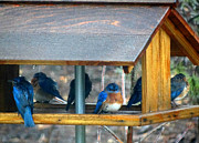 Crystal Joy Photography - Wet Bluebirds