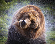 Shower Head Prints - Wet Griz Print by Steve McKinzie