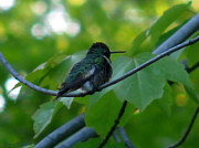 Pretty Colored Bird Photos - Wet Hummingbird by Debra     Vatalaro