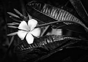 Sabrina L Ryan - Wet Plumeria Flower