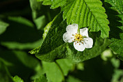Vitamine Photos - Wet strawberry flower - Featured 3 by Alexander Senin