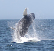 Whale Photo Originals - Whale Breaching 1 by Kelly Carey