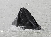 Whale Photo Originals - Whale in north Atlantic by Andres Zoran Ivanovic