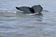 Whale Tail Print by Bob Hislop