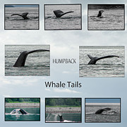 Whale Watching Prints - Whale Tails Print by Robert Bales