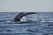 Roger Lewis Metal Prints - Whale Watching Metal Print by Roger Lewis