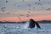 Humpback Whale Metal Prints - Whalesong Metal Print by Wade Aiken