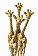 Giraffes Framed Prints - What are YOU looking at? Framed Print by Diane Diederich