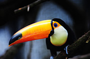 Attentive Posters - What Did You Say ? Toco Toucan Poster by Jenny Rainbow