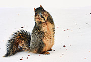 Fox Squirrel Art - What Do You Mean I Made a Mess? by Marcia Colelli