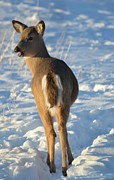 Does. Winter Prints - What do you think this deer is saying? Print by Dacia Doroff
