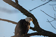 Birds Of Prey Photos - What Do You Think Your Doing by Robert Smice