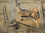Deer Photo Originals - What Fence by Mike  Dawson