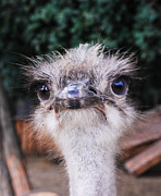 Ostrich Photos - What Me Worry by David Mortenson