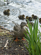 Mallard Ducklings Photos - What You Looking At by Nicki Bennett