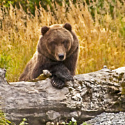 Kodiak Digital Art Prints - Whats For Lunch Print by William Howard