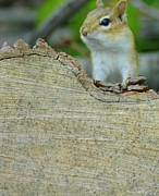 Chipmunk Photograph Posters - Whats Up Poster by Kathleen Struckle