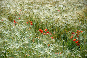 Norman Hall - Wheat and Poppy Field
