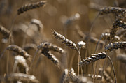 Edible Framed Prints - Wheat Framed Print by Anne Gilbert