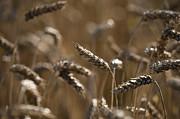 Wheat Print by Anne Gilbert