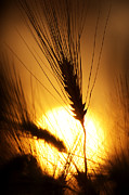 Orange Sunset Posters - Wheat at Sunset Silhouette Poster by Tim Gainey