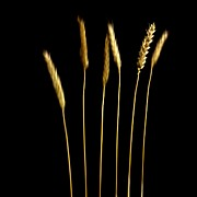 Six Photos - Wheat by Bernard Jaubert