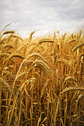Gold Framed Prints - Wheat Framed Print by Elena Elisseeva