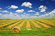 Rows Prints - Wheat farm field and hay bales at harvest in Saskatchewan Print by Elena Elisseeva