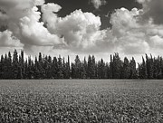 Ansel Adams Posters - Wheat field and clouds Ver. 3 Poster by Meir Ezrachi