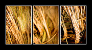 Raw Originals - Wheat fields in series of three by Tommy Hammarsten