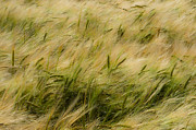 Ron Pettitt Prints - Wheat in the Breeze Print by Ron Pettitt